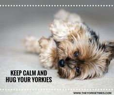 Share with us your favorite picture of your Yorkie baby!