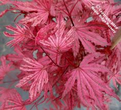 Black Japanese Maple | Acer palmatum 'Amagi shigure'