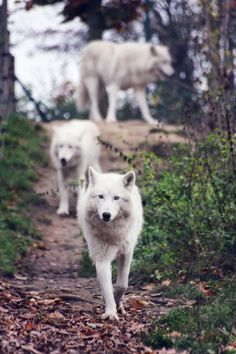 White Wolves, Save the wolves