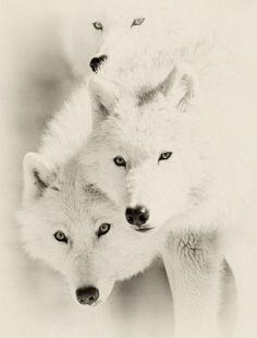 3 wolves #alpha #werewolf
