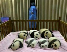 Cuteness overload. Pandas!!