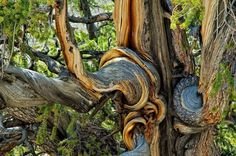 Whorls and Swirls of a Twisted Bristlecone Pine Trunk