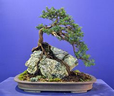 The upright styles in bonsai are one of the most popular and easy styles for beginners. Learn all about the two main upright styles in bonsai growing. Buy Bonsai Tree, Bonsai Tree Care, Bonsai Tree Types, Bonsai Trees, Ficus, Mame Bonsai, Indoor Bonsai Tree, Bonsai Plants, Air Plants
