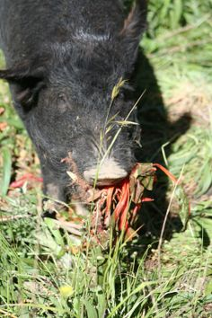Our winter vegetable gardens provide a smorgasbord of delights for pigs ... and pigs do a very effective job of preparing the gardens for springtime.