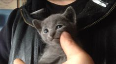 Zak - Russian Blue male, four weeks only