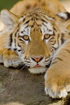 Beautiful Tiger!
