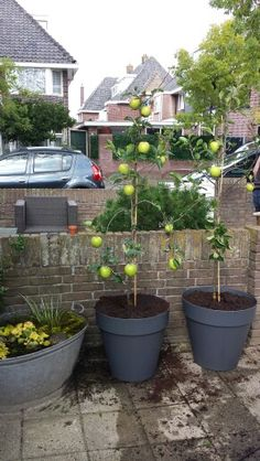 Nog geen haag, dus tijdelijk deze appelbomen!