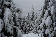 Snow Laden Firs
