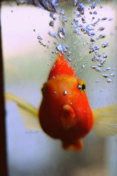 goldfish face... i really want to get a fish when i go back to school/res in the fall <3