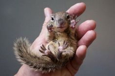 Baby squirrels in human hand
