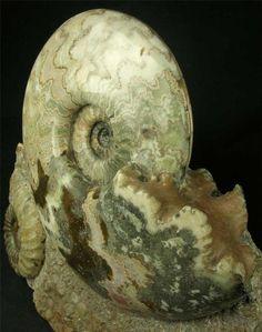 Eparietites denotatus & Aegasteroceras sp Jurassic, Lower Lias, Obtusum Zone, Frodingham Ironstone Size of Ammonites 190mm & 80mm Scunthorpe, UK