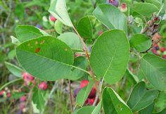 Amelanchier spicata (dwarf serviceberry, dwarf shadbush): Go Botany Botany, Plant Leaves, Plants, Planters, Plant, Planting