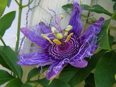 Passionsblume - Passiflora incarnata  Bio-Samen