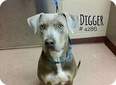 Pictures of Digger a Weimaraner/Doberman Pinscher Mix for adoption in Alvin, TX who needs a loving home.