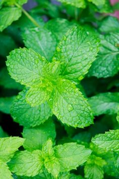 Mint ~Mint To smell or taste mint in you dream suggests that there is a calming influence in your life. You may be too overexcited or hyperactive and need to relax. Alternatively, the dream refers to a situation or relationship that you need to soothe over. Perhaps it is time to make amends.