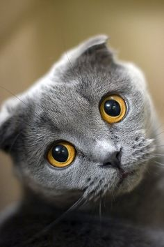 "sweeeeT Scottish Fold ~ from a natural, dominant gene mutation causing a fold in its ear cartilage, bending the ears forward & down.  Called 'lop-eared' or ""lops"" after bunnies... with an 'owl-like' appearance. Longhaired Scottish Folds = Highland Fold, Longhair Fold & Coupari."