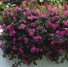 Heterocentron elegans A carpet like ground cover with dark pink flowers, ideal for warmer climates. Perfect for rock gardens or pots and hanging baskets. Flowers from autumn through winter. Prefers a full sun to part shade position. Garden Express, Ground Covering, Border Plants, Hanging Baskets, Pink Flowers, Shawl, Spanish, Beautiful, Gardens