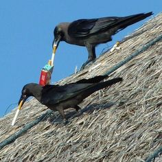 Not what it looks like----these intelligent birds use tobacco from cigarettes as insecticide. Placed in the nest or spread in the feathers the birds gain relief from mites and feather lice.