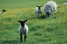 Lams grazing in meadow