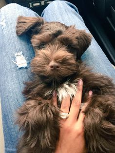 Miniature Schnauzer Puppies, Schnauzer Puppy, Cute Puppies, Cute Dogs, Dogs And Puppies, Cuddle Love, Schnauzer Grooming, Schnoodle Dog, Baby Animals
