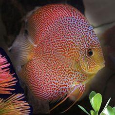 Tropic blue aquarium fish Vietnam                                                                                                                                                                                 More