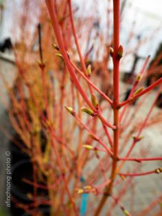 A new Japanese maple to our stores. Love that winter color. Green stem during the growing season. Japanese Maple, Winter Colors, Acer, Incense, Seasons, Green, Acer Palmatum, Seasons Of The Year