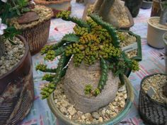 Euphorbia stellata is a small geophytic species, both a caudiciform and medusoid Euphorbia. The short, conical to truncate stem merges. Planting Succulents, Cacti And Succulents, Planting Flowers, Cactus, Plant Information, Different Flowers, Tropical Plants, Houseplants, Flora