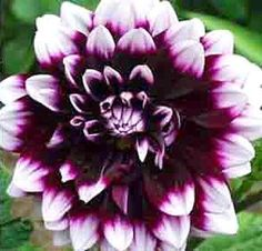 Purple and white dahlias