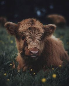Im currently exploring the cow forest with naturbanlife bendisee and ufbl Cute Baby Cow, Baby Cows, Cute Cows, Baby Elephants, Fluffy Cows, Fluffy Animals, Animals And Pets, Wild Animals, Farm Animals