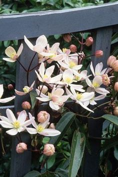 Clematis armandii 'Apple Blossom', evergreen, flowering in early spring, and scented