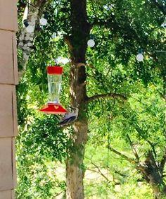 Woodpecker drinking hummingbird nectar