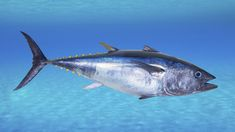 Japanese sushi chefs often can't resist bluefin tuna on offer. Some American chefs can't either, even though conservation groups and marine biologists have been badgering them about bluefin for years. Atlantic Bluefin Tuna, Sushi Chef, Japanese Sushi, Fatty Fish, Types Of Fish, Fishing Charters, Deep Sea Fishing, Going Fishing, Sport Fishing
