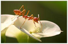 Formicidae - Ant (Karınca)