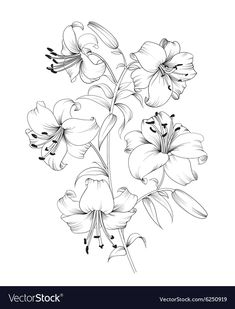 Group of lily flowers. Floral background with blooming lilies isolated on white … – Tattoo Pencil Drawings Of Flowers, Flower Sketches, Art Drawings, Cool Backgrounds, Summer Backgrounds, Vintage Backgrounds, Flower Art, Flower Outline, Floral Flowers