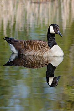 Canada Goose, British Ornithology, Water Fowl Birds, Wildlife