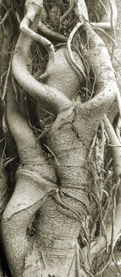 Ancient Fig Tree Roots via ourlittlehouseinframce #Tree_Roots #Fig