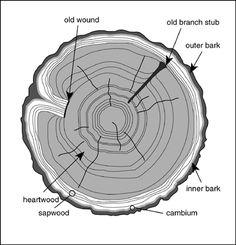 oak tree- rings tell the age of the tree | Trees Speak | Pinterest ...