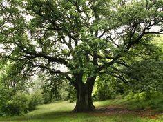 albero rovere