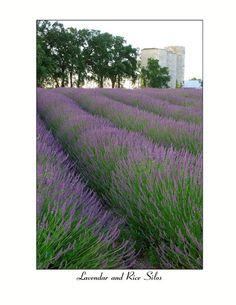 Bayliss Lavender Ranch, Biggs, CA