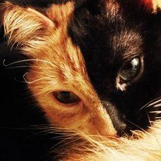 Quimera #Twofacedcat #quimera #Chimera #Cat #gattina #cats #catstagram…
