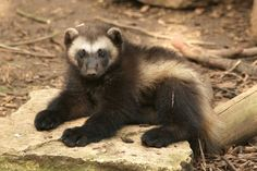 wolverine.  mammal | Hi there, I'm Becca and this is my happy place.