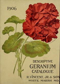 seeds_catalogs-04385 087-geranium  botanical floral botany natural naturalist nature flowers flower beautiful nice flora plants blooming ArtsCult.com Artscult ArtsCult vintage printable public domain 300 dpi commercial use 1800s 1700s 1900s Victorian Edwardian art clipart royalty free digital download picture collection pack paintings scan high qulity illustration old books pages supplies collage wall decoration ornaments Graphic engra