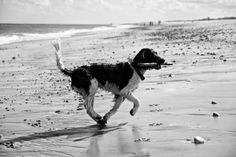 A quick run on the beach has to involve a stick…  English Springer Spaniel