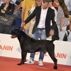 milan world dog show winner #sanroccocanecorso
