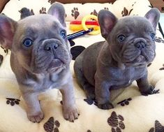 ✨ Eggy & Chorizo ✨ Blue French Bulldog Puppies #Buldog