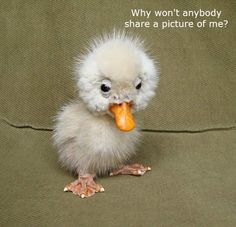 It''s so ugly it's cute. Such an Adorable Little Ugly but Cute Little Baby Duckling on the Farm - Aww! Cute Funny Animals, Cute Baby Animals, Animals And Pets, Ugly Animals, Farm Animals, Fluffy Animals, Happy Animals, Cute Creatures, Beautiful Creatures