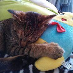 昔のチビちゃんの写真📷懐かしい~😁 この頃はお気に入りのふなっしーのぬいぐるみを抱きしめながら寝てました☺#猫 #ねこ #愛猫 #ねこ部 #ふなっしー #ぬいぐるみ #可愛い