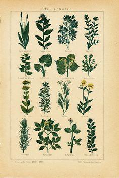 1897 Antique MEDICINAL HERBS II print. 115 years old antique print via Etsy