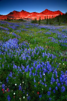 Sunset Wildlfowers and Goat Rocks From Snowgrass Flats in The Goat Rocks Wilderness Washington