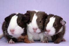 Guinea Pig Trio by twistedtyphoon.deviantart.com
